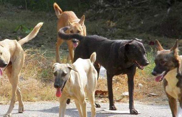 Αγέλες αδέσποτων σκύλων επιτίθενται σε δρομείς στη Θεσσαλονίκη!